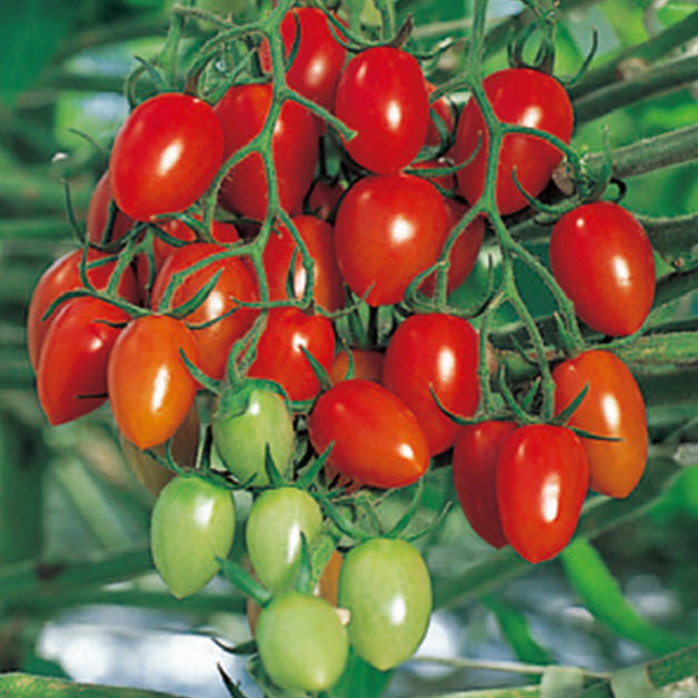 アイコ ミニ トマト